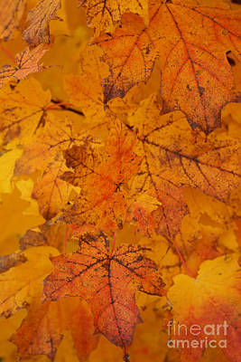 Poster featuring the photograph Painted Leaves Of Autumn by Linda Shafer
