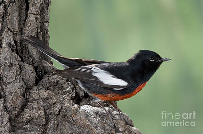 Painted Redstart Myioborus Pictus Poster