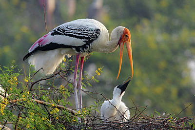Painted Stork & Youn One,keoladeo Poster by Jagdeep Rajput