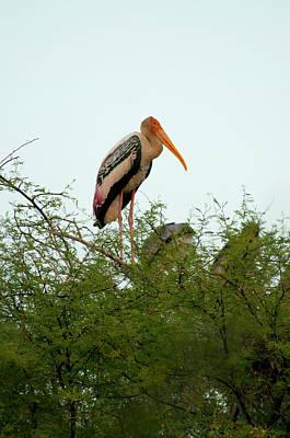 Painted Stork (mycteria Leucocephala Poster