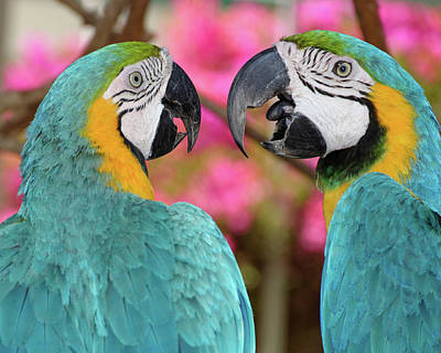 Pair Of Blue And Gold Macaws Engaged Poster