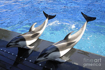 Pair Of Dolphins Poster