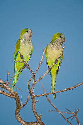 Pair Of Monk Parakeets Myiopsitta Poster