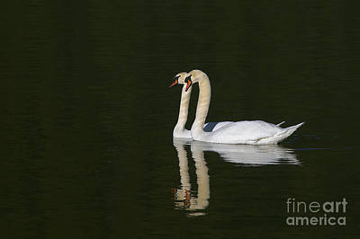 Pair Of Mute Swans Poster