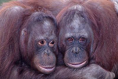 Pair Of Orangutans Poster by Robert Jensen