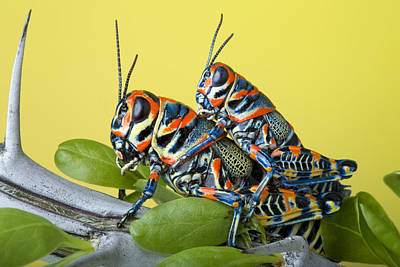 Pair Of Rainbow Grasshoppers On Ocotillo Poster by Robert Jensen