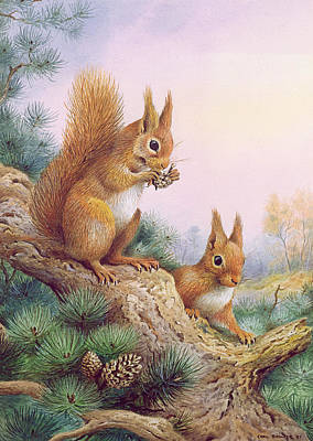 Pair Of Red Squirrels On A Scottish Pine Poster by Carl Donner
