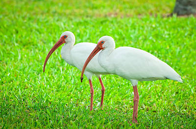 Pair Of White Ibis Poster by Rich Leighton