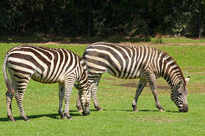 Poster featuring the photograph Pair Of Zebras by Charles Beeler