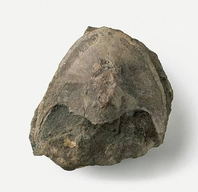 Palaeozoic Head Shield Fossil Poster by Dorling Kindersley/uig