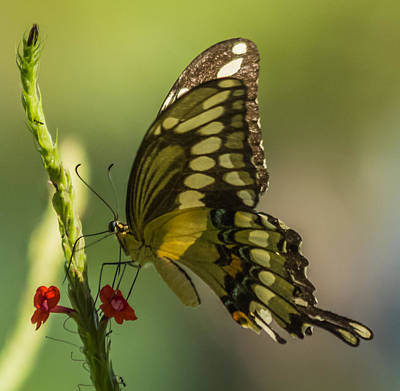 Poster featuring the photograph Palamedes Swallowtail by Jane Luxton
