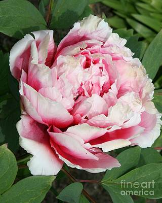 Pale And Dark Pink Peony Poster by Christiane Schulze Art And Photography