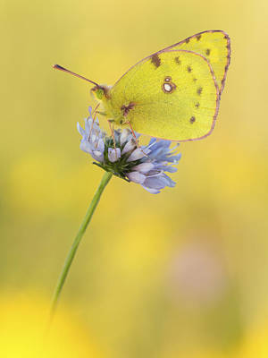 Pale Clouded Yellow Butterfly On Flower Poster