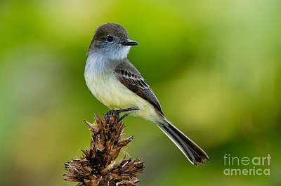 Pale-edged Flycatcher Poster by Anthony Mercieca