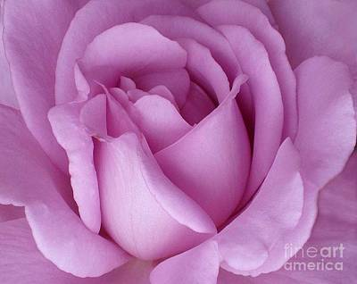 Poster featuring the photograph Pale Magenta Rose by Paul Clinkunbroomer