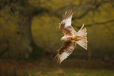 Pale Morph Red Kite Fly Past Poster