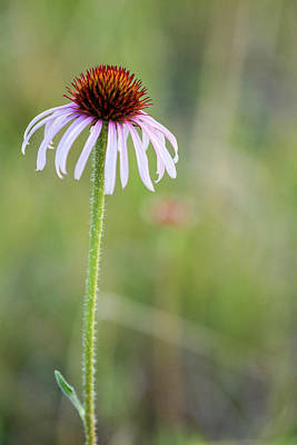 Pale Purple Coneflower In North Dakota Poster by Chuck Haney