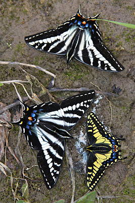 Pale Swallowtails And Western Tiger Swallowtail Butterflies Poster by Karon Melillo DeVega