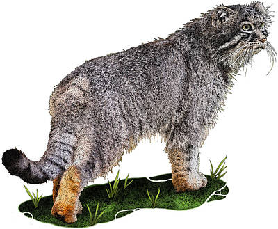 Pallass Cat, Otocolobus Manul Poster