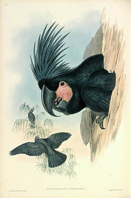 Palm Cockatoo Poster by Natural History Museum, London