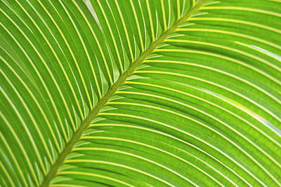 Palm Frond Diagonal (large Format Sizes Poster by Sheila Haddad