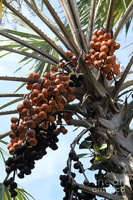 Palm Fruits  Poster by Christiane Schulze Art And Photography
