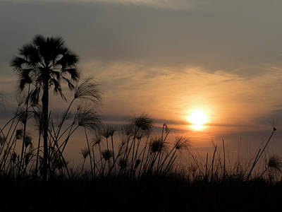 Palm Tree And Papyrus Plants At Dusk Poster