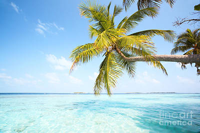 Palm Tree In The Maldives Poster
