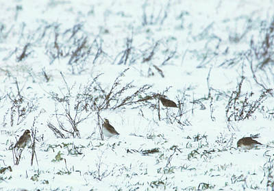Palm Warbler's Striving In Squall At Below Freezing Temperature Poster by Rachel Hersh