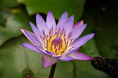 Poster featuring the photograph Panama Pacific Water Lily by Trever Miller