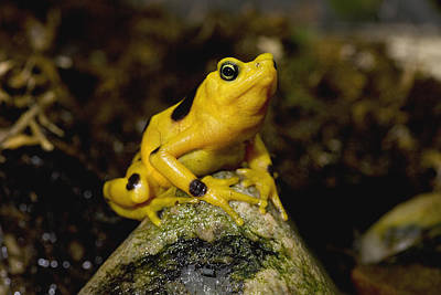 Panamanian Golden Frog Poster by San Diego Zoo