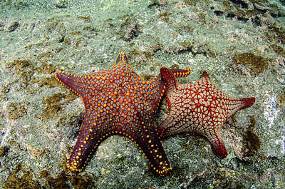 Panamic Cushion Star (pentaceraster Poster