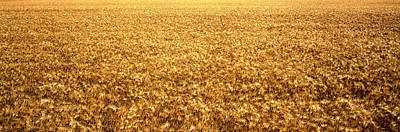 Panorama Of Amber Waves Of Grain, Wheat Poster