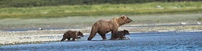 Panoramic Of Brown Bear Sow And Cubs On Poster by Lorraine Logan