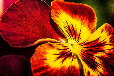 Pansy Flower 5 Poster