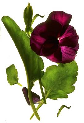 Pansy Purple Poster
