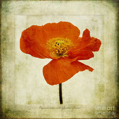 Papaver Nudicaule Garden Gnome Poster by John Edwards