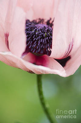 Papaver Orientale Carneum Poppy Poster by Tim Gainey