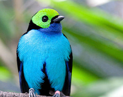 Poster featuring the photograph Paradise Tanager by Nathan Rupert