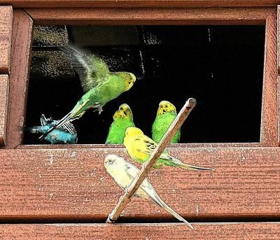 Poster featuring the digital art Parakeet Flutter by Ellen O'Reilly