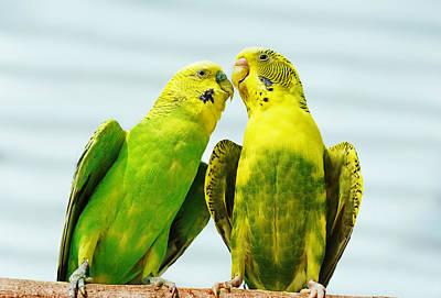 Parakeet Love Poster