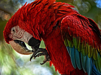Parrot Preen Hdr Poster