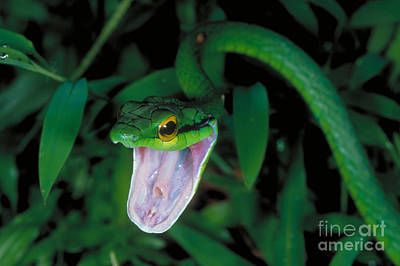 Parrot Snake Poster by Gregory G. Dimijian