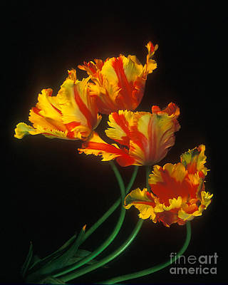 Parrot Tulips On Easter Morning Vertical Poster