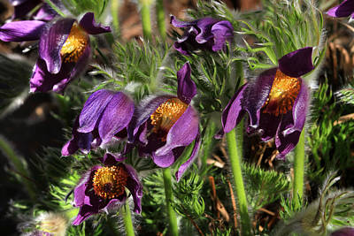 Pasque Flowers Poster by Donna Kennedy