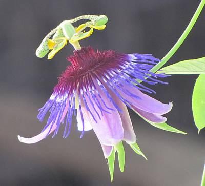 Passiflora Amethystina 'macae De Cimas' Poster by Eric Wortman