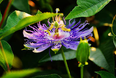 Passiflora Incarnata Poster by Adam LeCroy