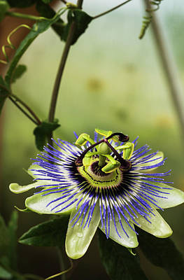 Passion Flower Blooms In A Greenhouse Poster by Robert L. Potts