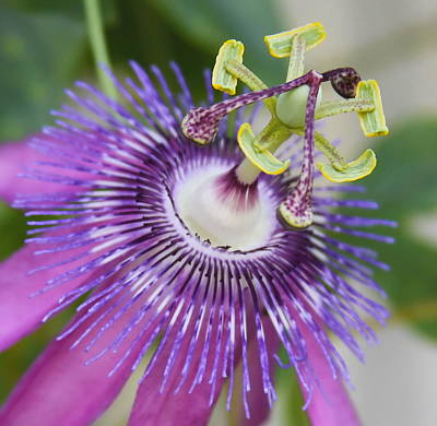 Passion Flower Close Up Poster