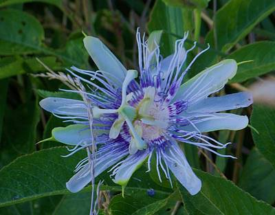 passion flower II Poster